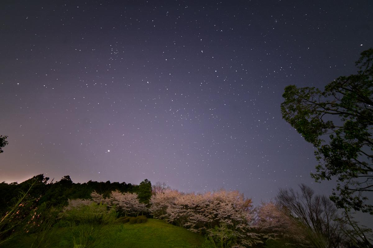 ふれあい公園桜